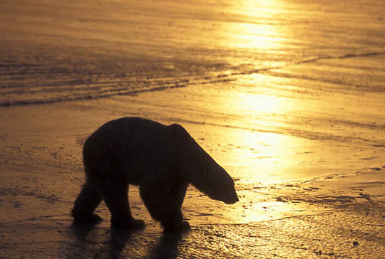 Polar Bear, (Ursus maritimus) On frozen Churchill, Manitoba. Canada. Evening.