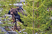 MULTITROPHIC INTERACTIONS | Grizzly bear (Ursus arctos horribilis) feeding on a carcass of elk (Cervus canadensis) prior to hibernation in the fall. Common Ravens (Corvus corax) are waiting for their turn.