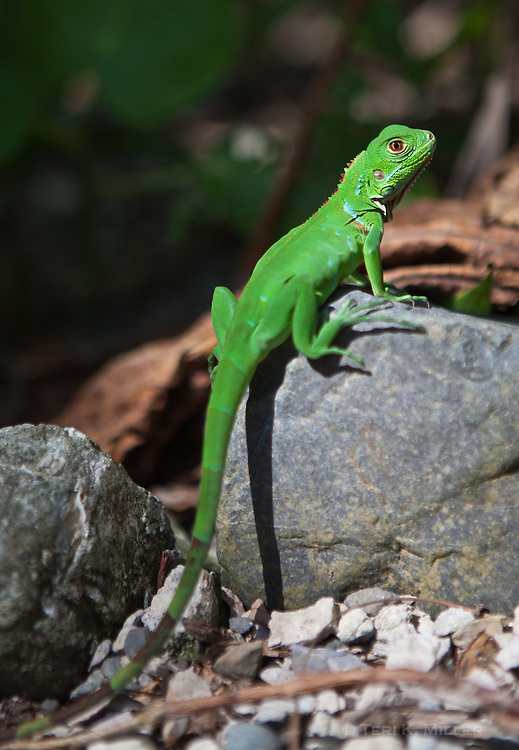 Lapa Rios Ecolodge, Osa Peninsula, Costa Rica