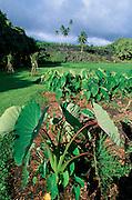 Kalo, Taro, Kahanu Gardens, Hana, Maui, Hawaii<br />