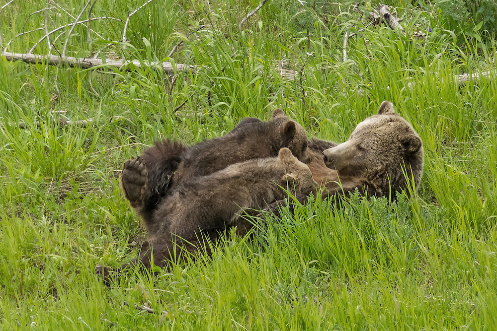 During the winter of 2015, the female grizzly known as  Raspberry, became a first time Mom. She emerged from her den with two tiny cubs who will stay with her well into their second year.