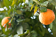 Israel, Sharon district, Citrus Grove, Oranges close-up of the ripe fruit on a tree