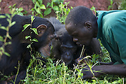 Chimpanzee<br /> Pan troglodytes<br /> Rodney Lemata (Caretaker) showing rescued chimpanzees how to use twigs as tools to catch insects<br /> Ngamba Island Chimpanzee, Sanctuary <br /> *Model release available - Release #MR_007