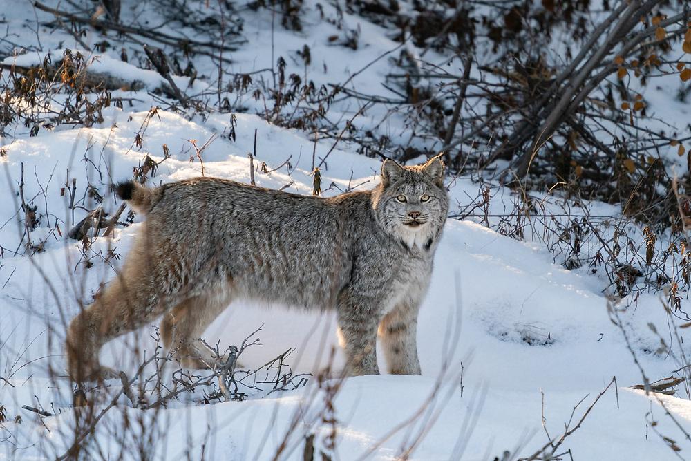 Canada Lynx (Lynx canadensis) in Kluane National Park in Yukon Territory, Canada. Winter. Afternoon.