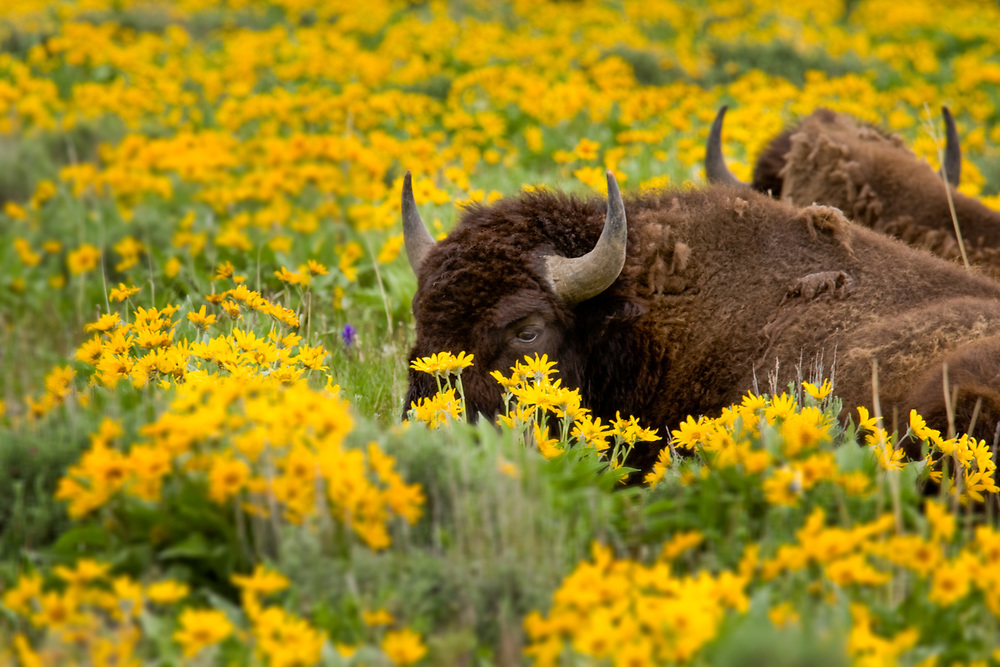Bison sit in a field of arrowleaf balsamroot in spring in Grand Teton National Park, Wyoming.