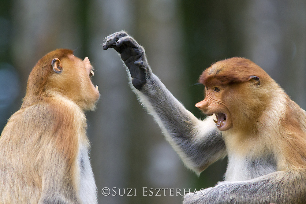 Proboscis Monkey<br /> Nasalis larvatus<br /> Sub-adult males play fighting<br /> Sabah, Malaysia
