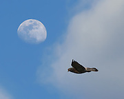Captured with an old point and shoot digital camera, allowing for sufficient depth of field on both the moon and the pigeon.