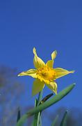 A07XRE Single daffodil against blue sky
