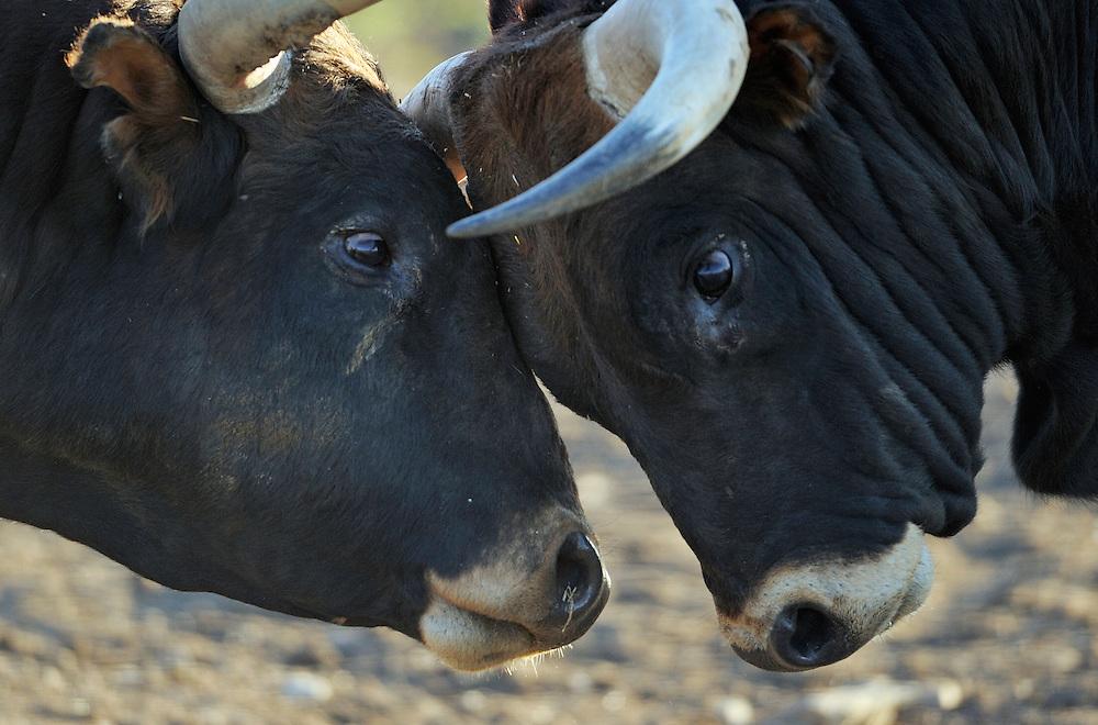 Ganado bravo, fighting bulls.Ciudad Rodrigo, Salamanca Region, Castilla y León, Spain