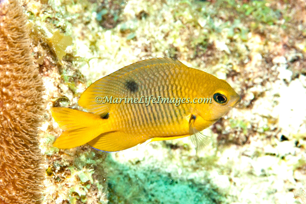 Threespot Damselfish, juvenile, inhabit reef tops in areas with algae in Tropical West Atlantic; picture taken  Key Largo, FL.