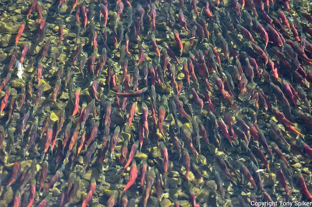 """Kokanee Salmon Run at Taylor Creek 2"" - The Kokanee Salmon Run at Taylor Creek, California"