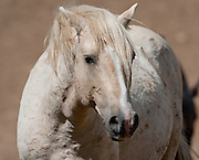 Cloud, the wild stallion,Pryor Mountains