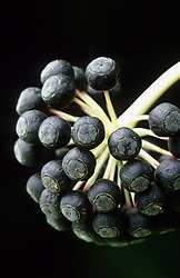 Black berries of Fatsia japonica - Japanese aralia