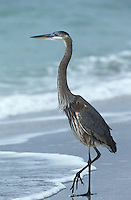 USA Florida Sanibel Island Great Blue Heron on beach side view