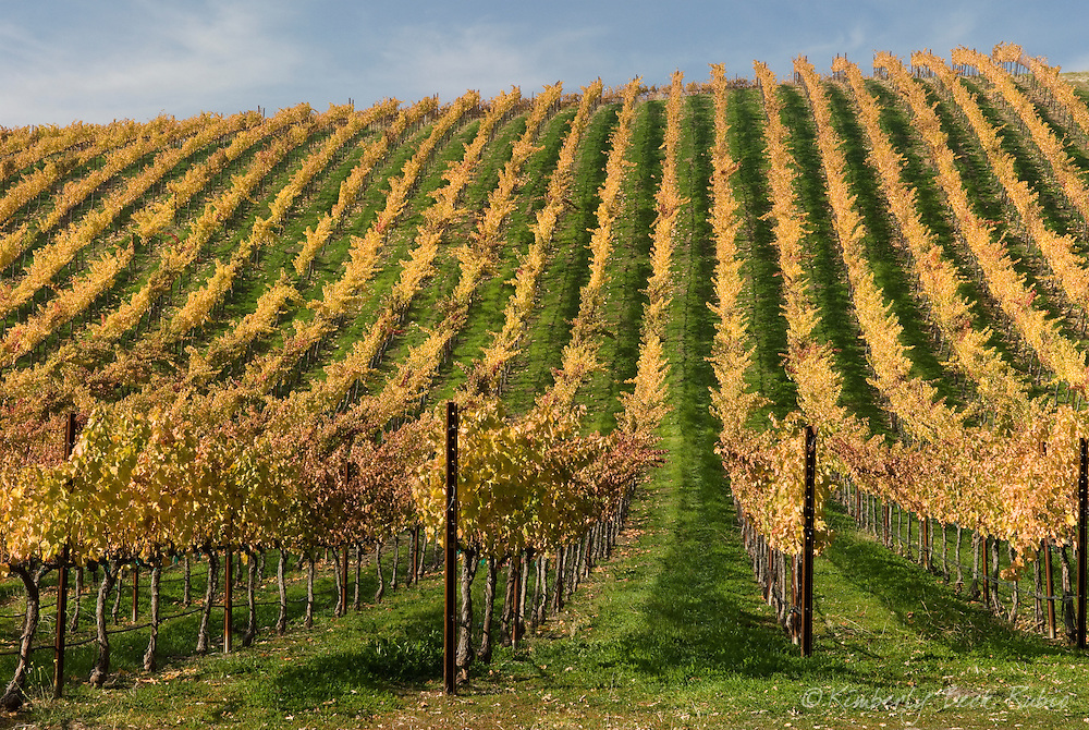 Golden vines in Paso Robles, central California, on a clear day after fall rains.