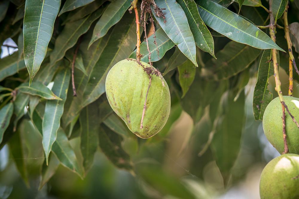Mango's (mangifera indica) grow inGanta, Liberia