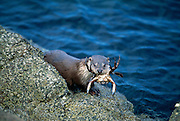European river otter {Lutra lutra} feeding on crab on seashore. Shetland, Scotland [size of single organism: 1,3 m]