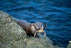 European river otter {Lutra lutra} feeding on crab on seashore. Shetland, Scotland [size of single organism: 1,3 m]