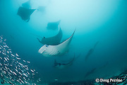 manta rays, Manta alfredi (formerly Manta birostris ), in feeding aggregation, filter-feeding on plankton, among school of silversides, Hanifaru Bay, Hanifaru Lagoon, Baa Atoll, Maldives ( Indian Ocean )