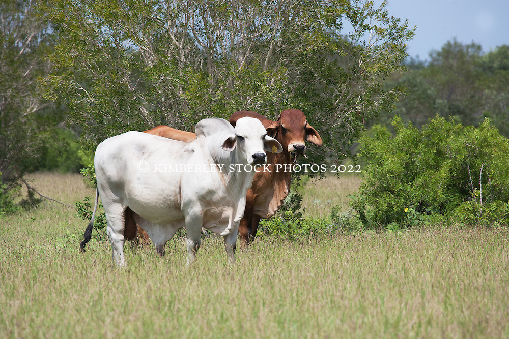 Two Brahman cattle on Anna Plains Station, inland from Roebuck Bay.
