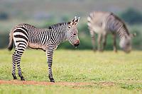 Cape Mountain Zebra foal, De Hoop Nature Reserve, Western Cape, South Africa