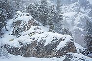 Mountain goat kid, snowstorm, Snake River Range