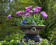 Tulipa 'Blue Diamond' a purple tulip growing in a stone urn at Pashley Manor Gardens, Ticehurst, East Sussex, UK