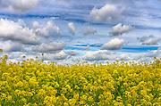 Nederland, the Netherlands, Batenburg, 30-4-2016Veld met bloeiend geel koolzaad  .FOTO: FLIP FRANSSEN/ HH