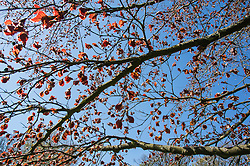 Beech, early spring