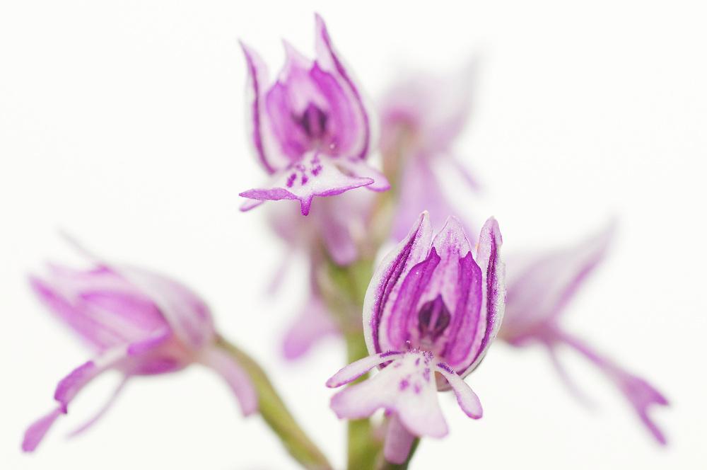 Military orchid; Orchis militaris, Ruggellerriet, Liechtenstein