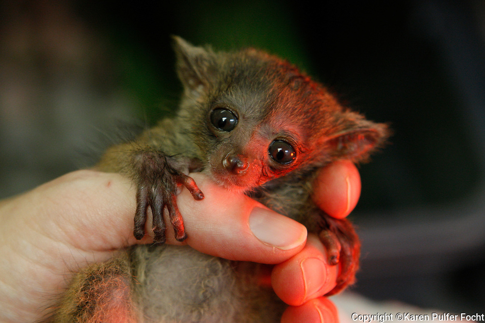 Twenty- three -day- old twin bush babies are being hand reared at the Memphis Zoo. The two are difficult to separate as they cling to each other, snuggling in their zoo keepers hand. The nocturnal primates come from Africa. Their mother, Jamie, died about a week after their birth, they are being fed from a bottle. Over the past few years, their numbers have grown in U.S. zoos. This is the first set of twins for the Memphis Zoo. They get their name from the crying sound they make when they send out an alarm call.