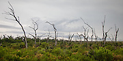 Oak trees killed by saltwater intrusion; Hwy. 46