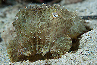 Like all cephalopods, cuttlefish are capable of changing the texture and color of their skin to match their surroundings.