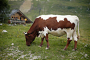 Austria, Upper Austria, Gosau village, in the Dachstein Mountains cows grazing in the fields a chalet;  in the background