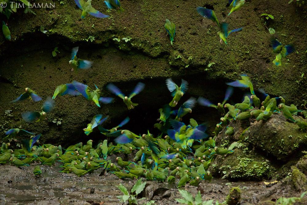Cobalt-winged Parakeets (Brotogeris cyanoptera) eating clay at clay lick east of Anangu and south of the Napo River, Yasuni National Park, Orellana Province, Ecuador