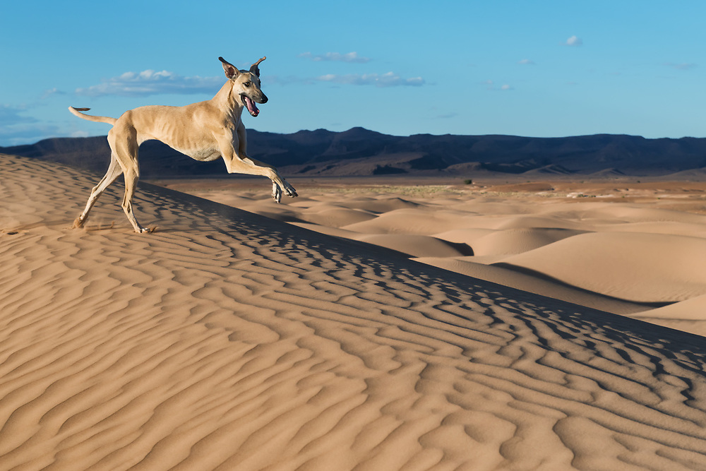 A happy, brown Sloughi dog (Arabian greyhound) runs in the sand dunes in the Sahara desert of Morocco.