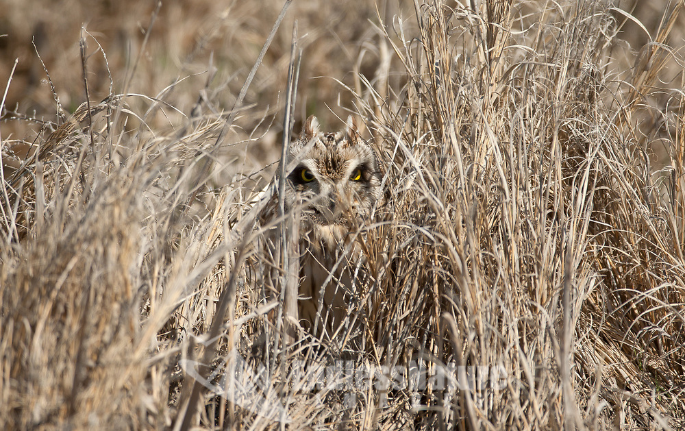 A Short Eared Owl just when you think your alone outdoors!