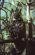 Great-horned owl somewhat hidden in shadow as it perches in a ponderosa pine tree during the day. It sleeps only lightly, keeping an eye out for danger. © 1983 David A. Ponton