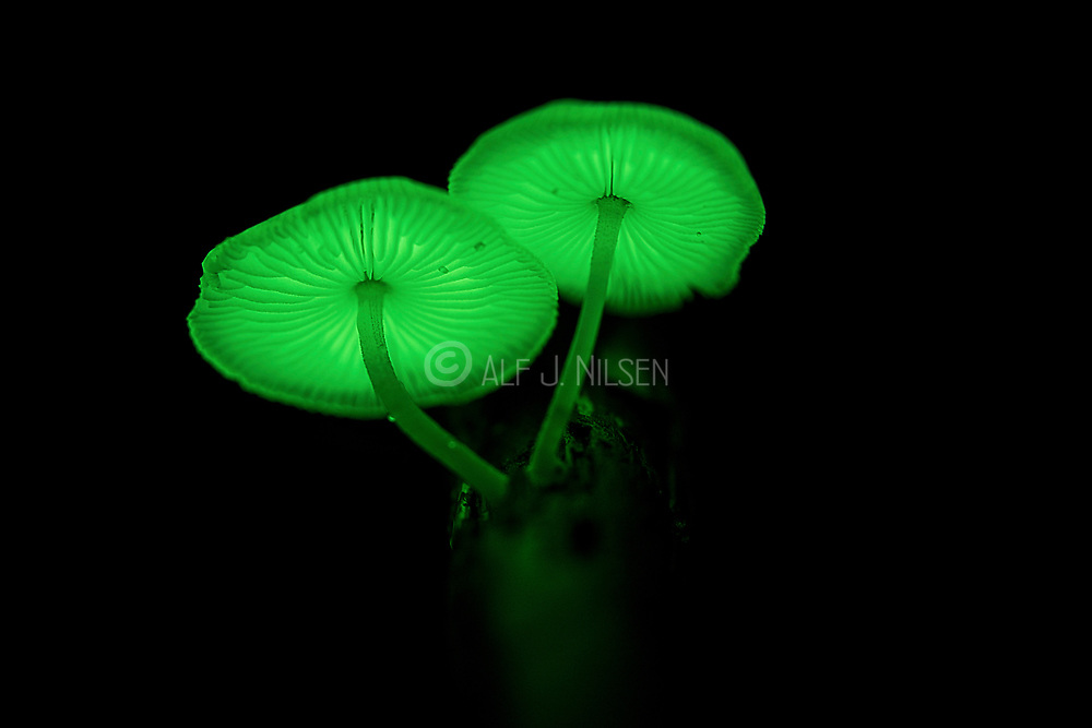 A fungus from the genus Mycena (probably M. chlorophos) is showing its bioluminescent trait and emits light making it shine in the dark night of Tanjung Puting National Park, Kalimantan, Indonesia.