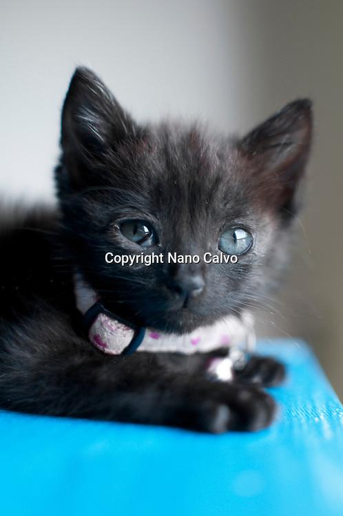 1 Month Old Black Kitten