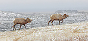 Rocky Mountain Bighorn Sheep in Habitat