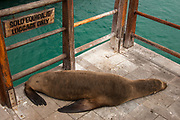 Galapagos Sealion (Zalophus wollebaeki) on the Dock<br /> Puerto Baquerizo Moreno, San Cristobal Island, GALAPAGOS, ECUADOR. South America<br /> There are approximately 16,000 individual sealions in the archipelago and numbers are increasing. Males are much larger than females, weighing up to 250kg compared with 100kg in the females. They spend a large amount of time hauled up on sandy beaches. The males establish territories which are savegely defended from rivals. Young bachelors and unsuccessful bulls then leave the area and establish bachelor colonies on the outskirts of female haul-outs. Reproduction occures mainly in the Garua season between July and December and will vary from Island to Island. Sealions are highly thigmotactic (seeking body contact) and loaf around in piles on the beaches. They are extremely efficient hunters, preferring sardines to other fish, so spend a considerable time resting or at play. Underwater they are well streamlined, lithe and acrobatic.