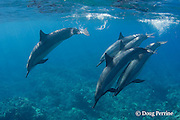 Hawaiian spinner dolphins or Gray's spinner dolphin or long-snouted spinner dolphin, Stenella longirostris longirostris, Kaupulehu, Kona Coast, Big Island, Hawaii ( Central Pacific Ocean )