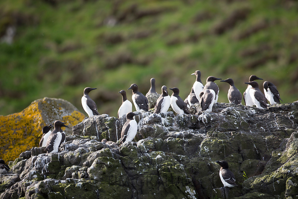 Endangered species Common Guillemot or Common Murre colony of seabirds, Uria aalge, of the auk family (part of the order Charadriiformeson) with Razorbills on rocks on Isle of Canna part of the Inner Hebrides and Western Isles in West Coast of Scotland