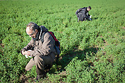 Wildlife researchers collecting droppings of Little Bustard (Tetrax tetrax). Lleida province. Catalonia. Spain.