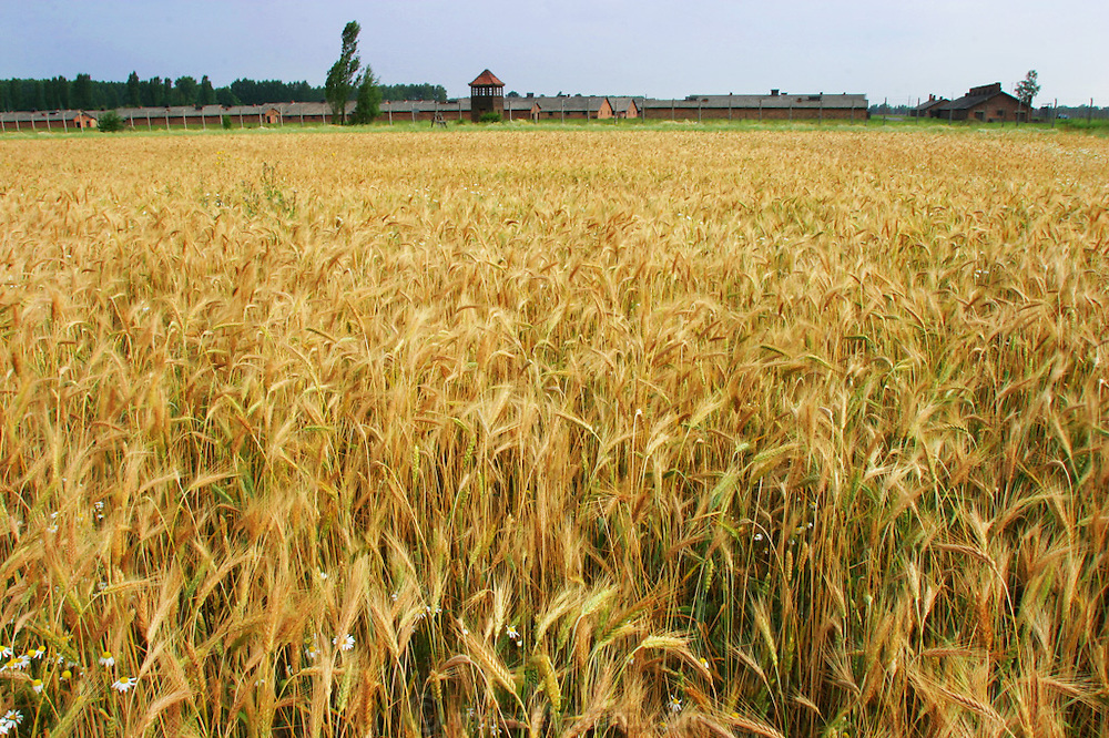 Birkenau Death Camp, Poland, summer wheat.