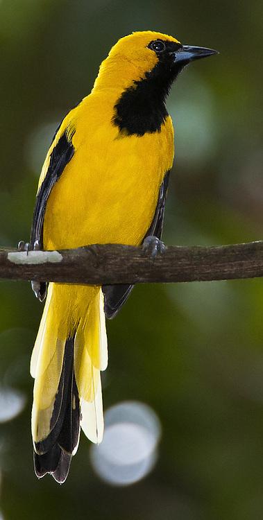 Yellow-tailed Oriole, Icterus mesomelas, Panama, by Owen Deutsch