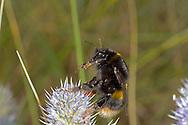 Buff-tailed Bumblebee - Bombus terrestris - queen, dark form.