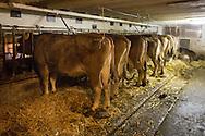 SCHWEIZ - MEISTERSCHWANDEN - Kühe in einem Anbindestall - 06. Februar 2017 © Raphael Hünerfauth - http://huenerfauth.ch