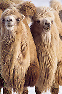 These female Bactrian camels can weigh 450 to 650 kilograms (1,450 Lb) and stand 190 to 230 centimeters (75 to 91 inches) tall at the hump. Bakanas, southern Kazakhstan